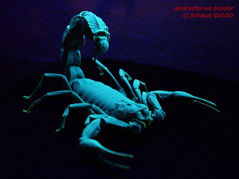 Androctonus bicolor Abicolor_phospho